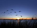 Ducks wetlands