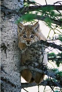 Small Canada lynx