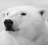 Help the Polar Bears