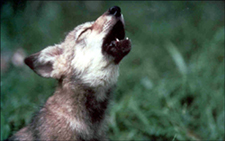 Wolf pup (Photo courtesy of USFWS)
