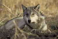 Mexican gray wolf (Courtesy of the USFWS)