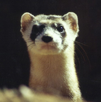 Black-footed ferret (Photo by Scott Sprague)