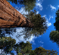 Take action to protect our sequoias!