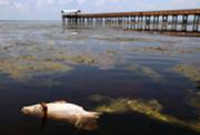 Fish Kill on the Saint Johns