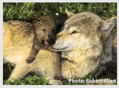 Send a message to protect the gray wolf! Photo: Robert Allan