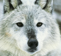 Take a moment to help protect the gray wolf.