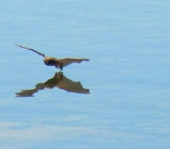 A Bat Skims the Water at Thompson's Harbor, by Rebecca Hammo