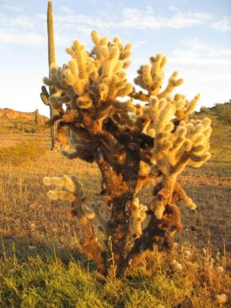 Cholla Cactus in Hummingbird Springs by Sandy Bahr