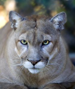 Mountain lion (Photo courtesy of Green Fire Productions)