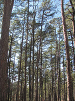 pines at Hawn S.P.