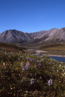 Artic wilderness, larger