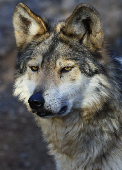 Mexican gray wolf (By Erin and Lance Willett)