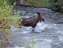 Moose in Water