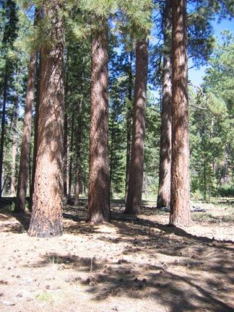 North Kaibab Ponderosa Pines by Sandy Bahr