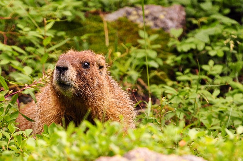 Marmot, Steve Harbula, April Photo Contest Winner