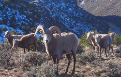 OO_ FLD_NM Big Horn Sheep_AA