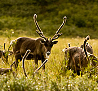Caribou in the Arctic Refuge