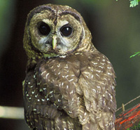 Take Action: Protect Spotted Owl Habitat