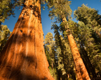 Grassroots Activism: Protecting Giant Sequoias -- read more.