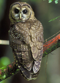 currents_spottedowl.jpg