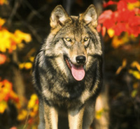 Take Action: Speak Out for Wyoming's Wolves