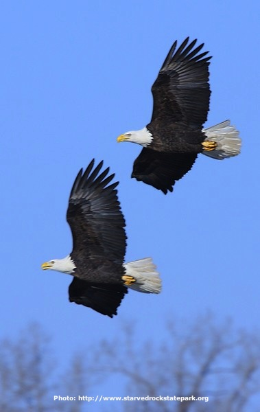 Starved Rock Eagles