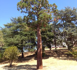Saving Muir's Sequoia