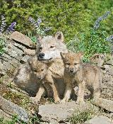 Gray wolf mother and cub for fund appeal