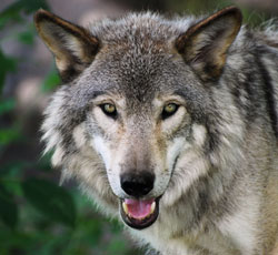 Grey Wolves in Peril