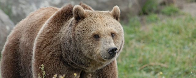 Protect Montana's Grizzly Bears