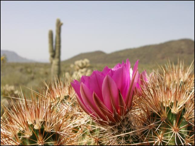 Sonoran Desert flower by Craig Weaver