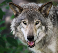 Wyoming's Wolves Need Help