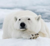 Protect the Polar Bear Seas