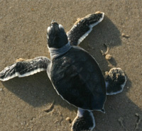Good News for Baby Sea Turtles -- read more.