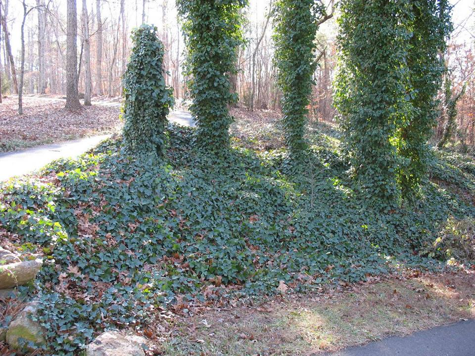 invasive ivy.jpg