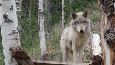 Wolf photo 1