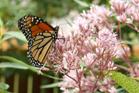 monarch_milkweed_200.jpg