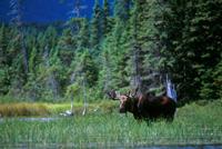 moose in bog
