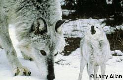 nat_gray_wolf_larryallan.jpg