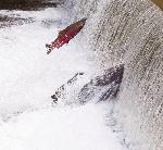 falls creek salmon