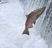 A Victory Leap for Wild Salmon