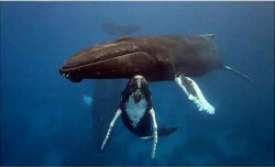 Swimming Whale