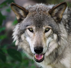 Help Save the Wolf