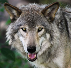 Help Stop the Wolf Slaughter