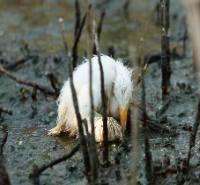 Dying Heron