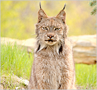 The threatened Canada lynx