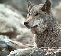 Protect the Grey Wolf